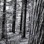 Forest scene bw by hotblack via Morguefile